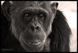 Ol Pejeta Conservancy, Kenya - Chimp Santuary