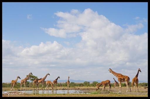 Ol Pejeta Conservancy, Kenya - Giraffes at Watering Hole