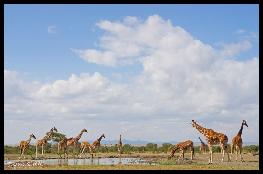 Ol Pejeta Conservancy, Kenya - Giraffes at Watering Hole
