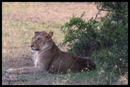 Ol Pejeta Conservancy, Kenya - Lion