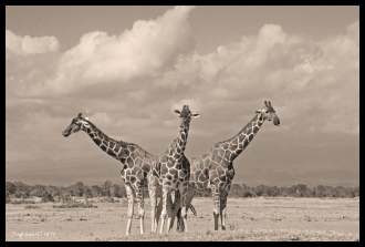 Ol Pejeta Conservancy, Kenya - Three Giraffes