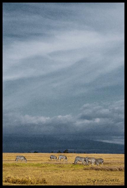 Ol Pejeta Conservancy, Kenya - Zebra Landscape