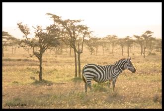 Ol Pejeta Conservancy, Kenya - Zebra Meadow