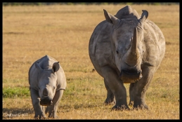 Ol Pejeta Conservancy, Kenya - White Rhino Mother and Baby