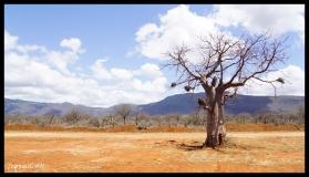 The Naked Baobab