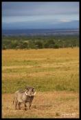 Ol Pejeta Conservancy, Kenya - Curious Warthog