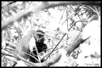 Blue Monkey - Nyungwe Forest, Rwanda