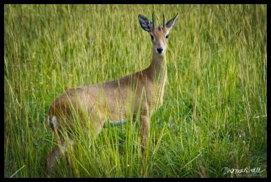 Uganda Kob - Murchison Falls State Park