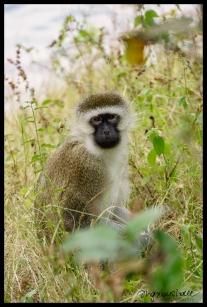 Vervet Monkey - Lake Kivu, Rwanda