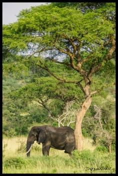 Elephant - Murchison Falls State Park
