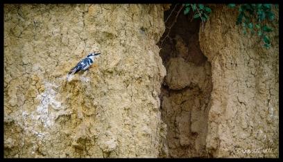 Kingfisher - Murchison Falls State Park