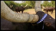 Royal Cattle - Nyanza, Rwanda