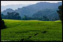 Tea and Mountains - Nyungwe Forest Rwanda