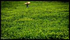 Tea Plantation - Gisakura, Rwanda