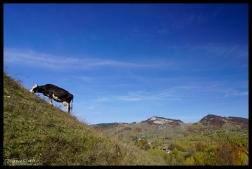 Climbing Cow