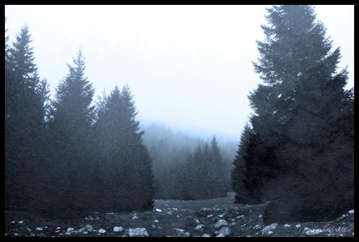 Transylvania Trees