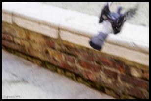 Venetian Pigeon