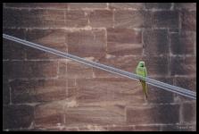 Jodhpur - Bird on a Wire
