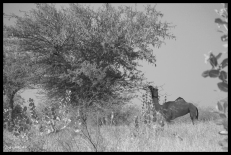 Osiyan - Camel Eating Tree