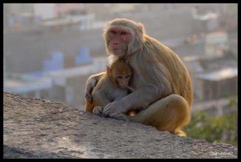 Jaipur - Mom Feeding Baby Monkey
