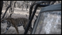 Ranthambore - Tiger Safari