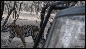Ranthambore - Tiger Safari