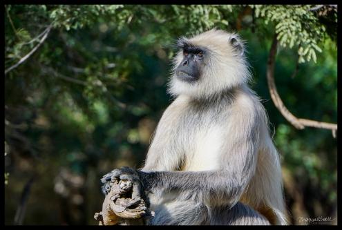 Ranthambore - Wise Monkey