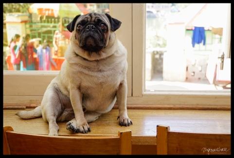Buddhist Pug - Rewelsar