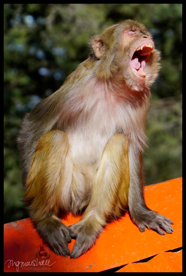 Yawning Monkey - Shimla