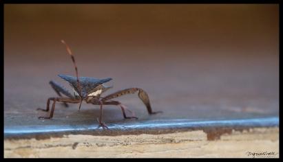 Bug - Kalaw
