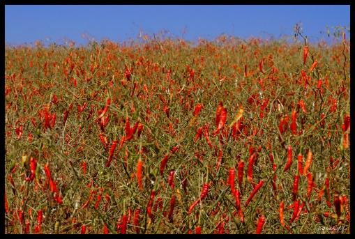 Chili Farm - Shan State