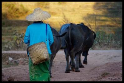 Danu Woman with Buffalo - Shan State
