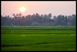 Sunset on Rice Paddies - Backwaters Alleppey