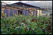 Village Flowers - Shan State