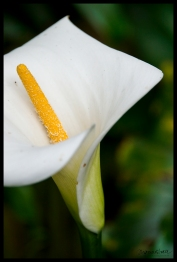 Cala Lilly - Cameron Highlands