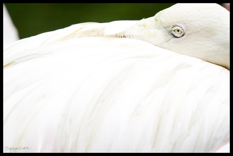 Flamingo - Kuala Lumpur