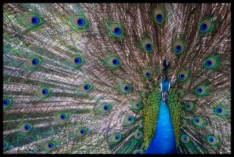 Peacock - Kuala Lumpur