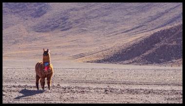 Llama - Salt Flats