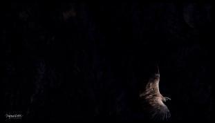 Colca Canyon - Condor in Flight