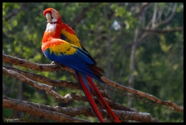 Courting Macaws