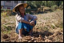 Ginger Farmer