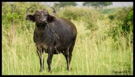 Heehaw Buffalo