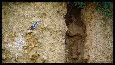 Murchison Kingfisher - Ratio crop