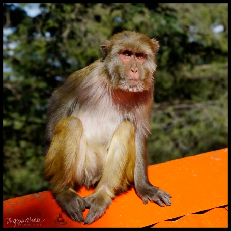 NO Staring Monkey