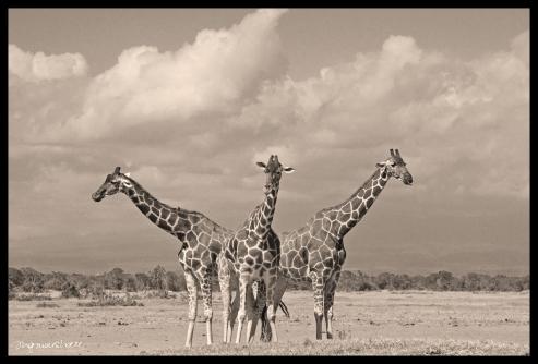 Triple Giraffes BW