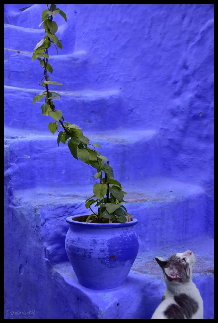 Blue, Cat - Chefchaouen