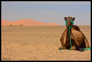 Camel Laying - Hassilabied