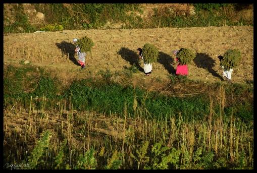 Cannibus Harvest - Bab Taza