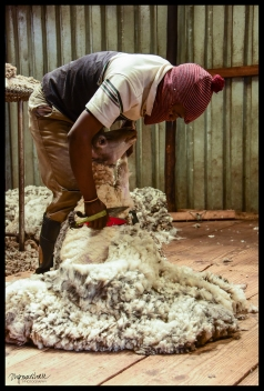 sheep-shearing