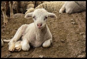 smirking-lamb